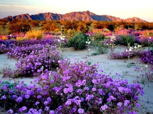 136952b873bf650bae08bc8836fe557d 6 - Atacama em flor. A extraordinária florada no deserto mais árido do mundo!