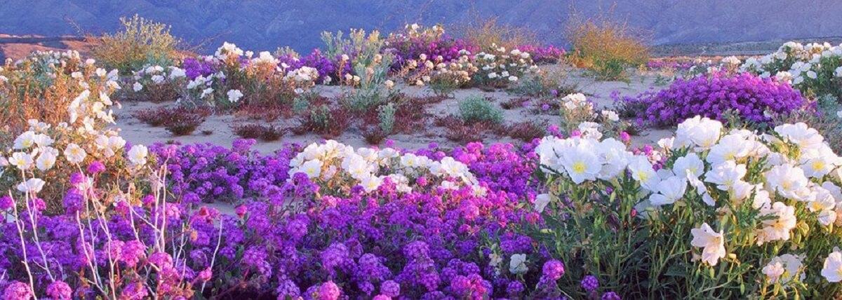 images cms image 000559103 cap1 - Atacama em flor. A extraordinária florada no deserto mais árido do mundo!