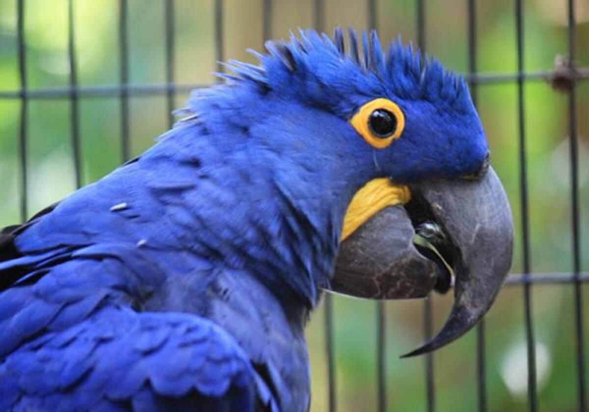 Arara azul close e1556112772110 - Novos filhotes de arara azul nascem e salvam espécie da extinção