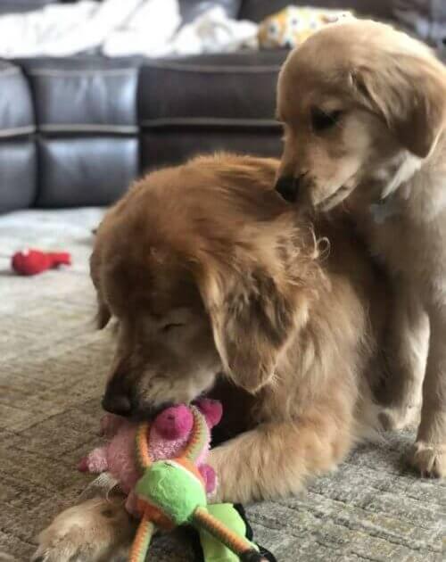 """brincando - Cachorro idoso cego recupera a alegria de viver ao ganhar seu próprio """"Cão-Guia"""""""