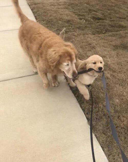 """conduzindo - Cachorro idoso cego recupera a alegria de viver ao ganhar seu próprio """"Cão-Guia"""""""