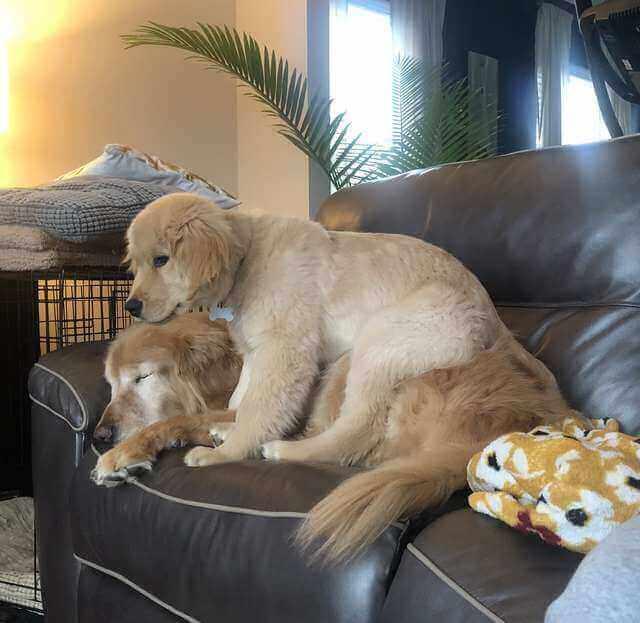 """dormindo - Cachorro idoso cego recupera a alegria de viver ao ganhar seu próprio """"Cão-Guia"""""""