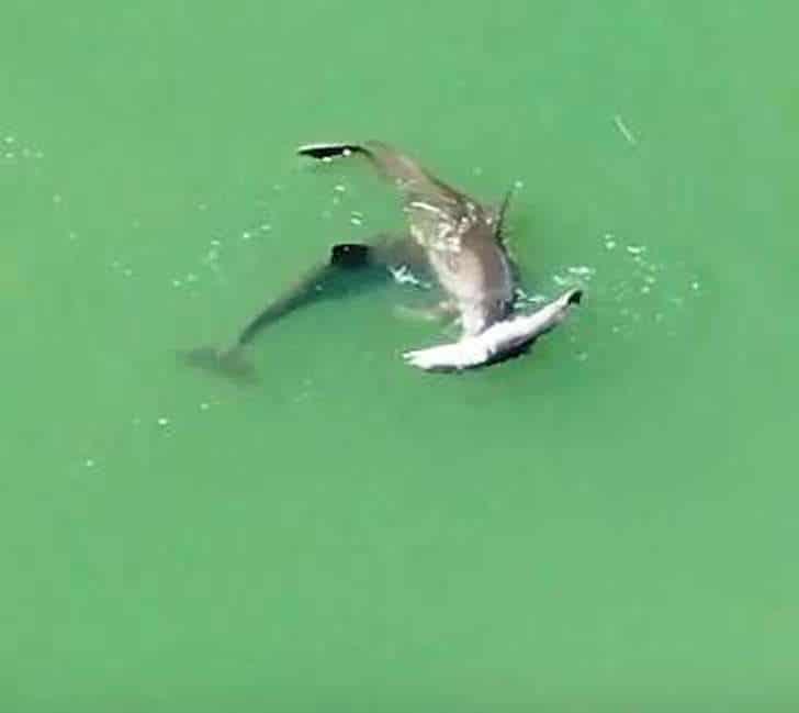 Golfinho 2 - Mãe golfinho carrega filho sem vida para beira mar só para se despedir dele