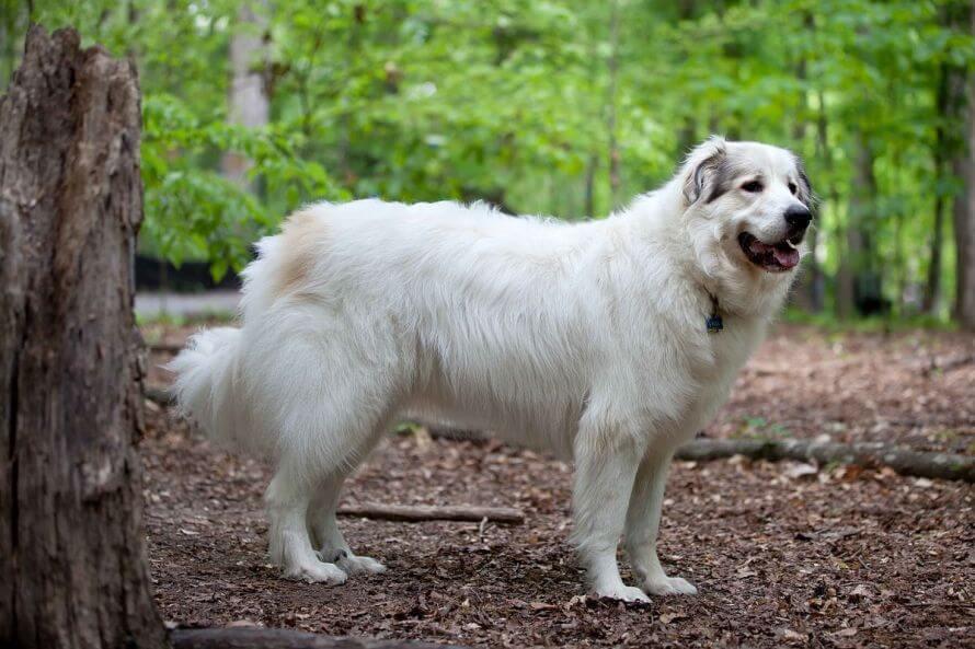 1 Cão de montanha dos Pirenéus - Cães pouco exigentes: aqui estão as melhores raças
