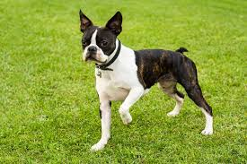 4 Boston Terrier - Cães pouco exigentes: aqui estão as melhores raças