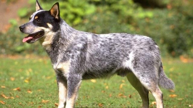 7 cão de gado australiano - Cães pouco exigentes: aqui estão as melhores raças