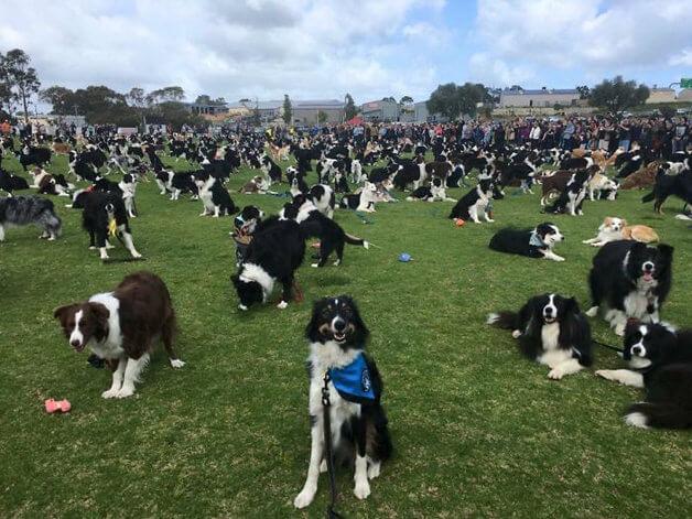 BCollies2 - Juntaram 576 Border Collies e bateram um belo recorde de fofura na Austrália