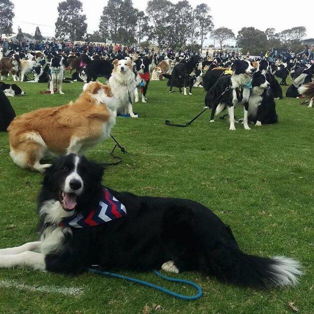 BCollies4 - Juntaram 576 Border Collies e bateram um belo recorde de fofura na Austrália