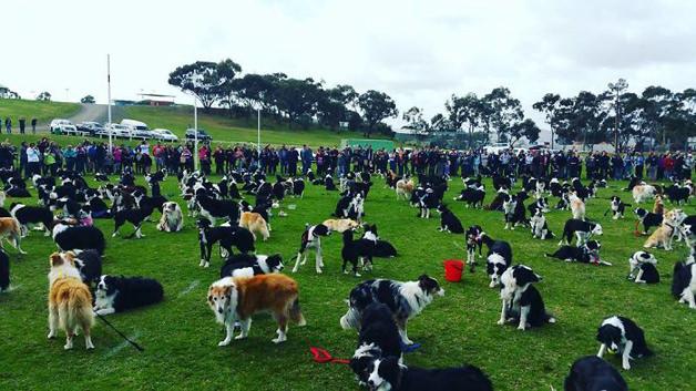 BCollies5 - Juntaram 576 Border Collies e bateram um belo recorde de fofura na Austrália