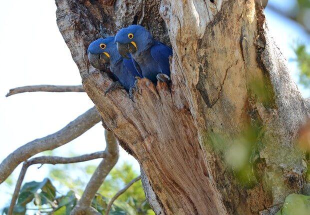 aRARA AZUL - Nascem araras azuis em área devastada pelas queimadas na Amazônia