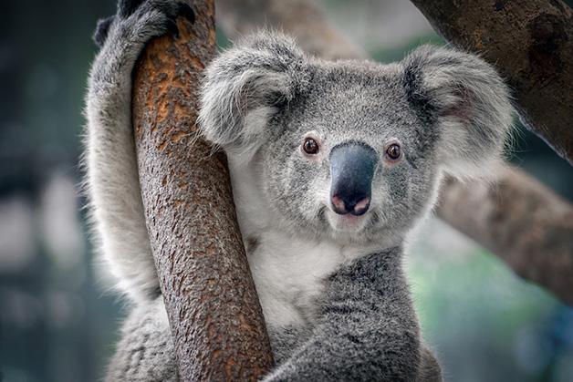 Coala incêndios 2 - Coalas estão condenados à extinção devido aos incêndios na Austrália, afirmam pesquisadores