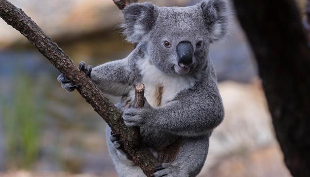 Coala incêndios 4 - Coalas estão condenados à extinção devido aos incêndios na Austrália, afirmam pesquisadores