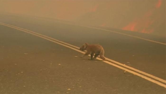 Mulher salva coala 1 - Mulher salva coala chamuscado e desesperado em incêndio