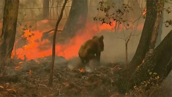 Mulher salva coala 2 - Mulher salva coala chamuscado e desesperado em incêndio