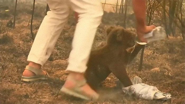 Mulher salva coala 5 - Mulher salva coala chamuscado e desesperado em incêndio