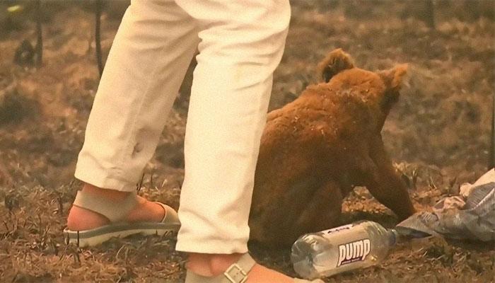 Mulher salva coala 7 - Mulher salva coala chamuscado e desesperado em incêndio