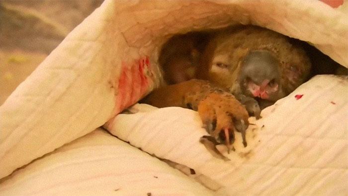Mulher salva coala 9 - Mulher salva coala chamuscado e desesperado em incêndio