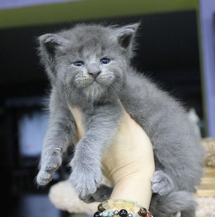 """maine coon kittens catsvill 1 - Nasce uma ninhada inteira de gatinhos com expressão de """"velhinhos rabugentos""""."""