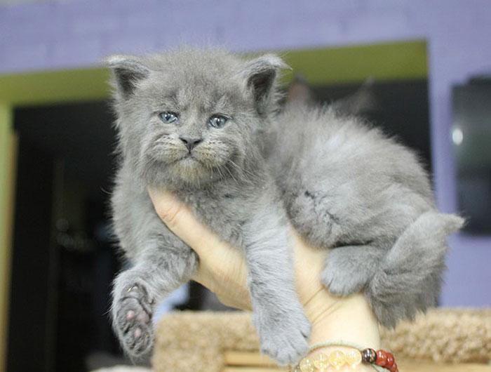 """maine coon kittens catsvill 2 - Nasce uma ninhada inteira de gatinhos com expressão de """"velhinhos rabugentos""""."""