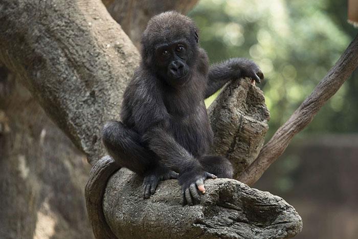 1 3 - Um gorila nascido com falta de pigmentação nos dedos surpreende as pessoas com um detalhe curioso