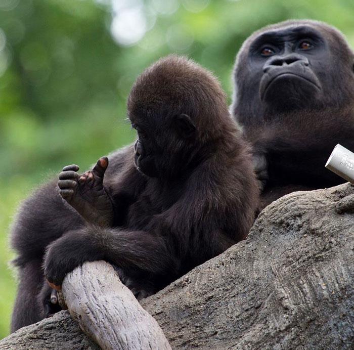 2 2 - Um gorila nascido com falta de pigmentação nos dedos surpreende as pessoas com um detalhe curioso