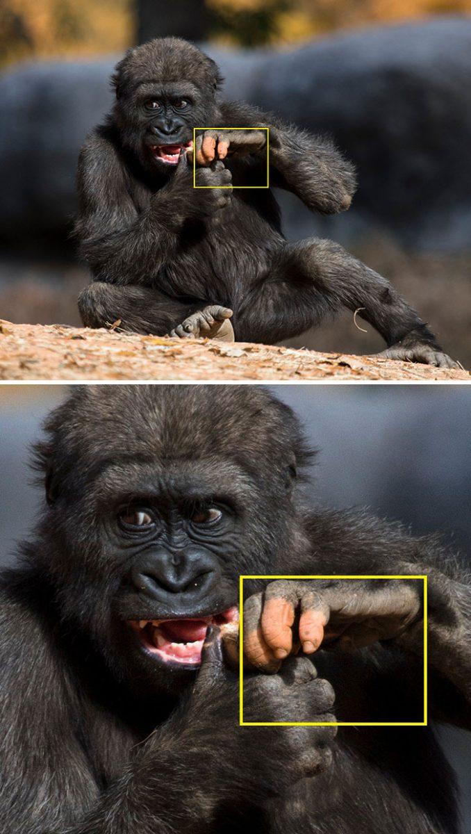 3 2 scaled - Um gorila nascido com falta de pigmentação nos dedos surpreende as pessoas com um detalhe curioso