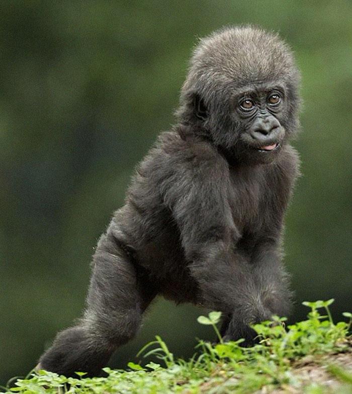 4 3 - Um gorila nascido com falta de pigmentação nos dedos surpreende as pessoas com um detalhe curioso