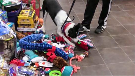 Abrigo de animais 2 - Abrigo deixa que animais escolham seus presentes de Natal: Assista ao vídeo