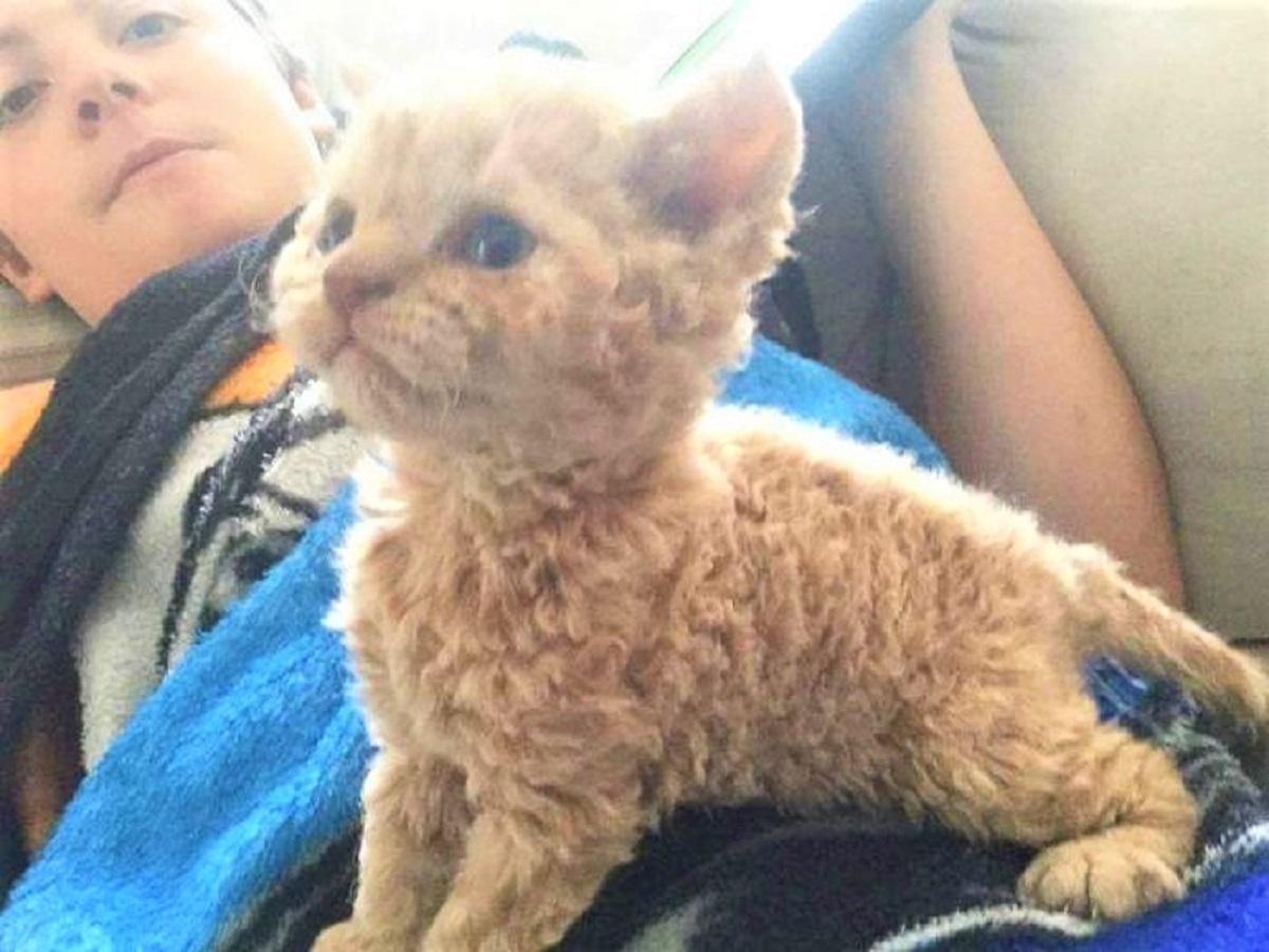 Awebic Gato de pelo encaracolado 2 - Gatos com pelos encaracolados a nova raça que tem conquistado a internet