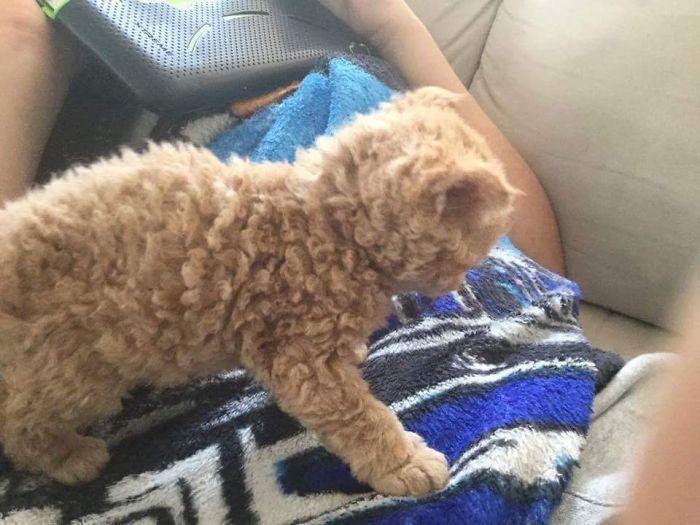 Awebic Gato de pelo encaracolado 3 - Gatos com pelos encaracolados a nova raça que tem conquistado a internet