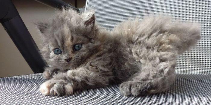 Awebic Gato de pelo encaracolado 4 - Gatos com pelos encaracolados a nova raça que tem conquistado a internet