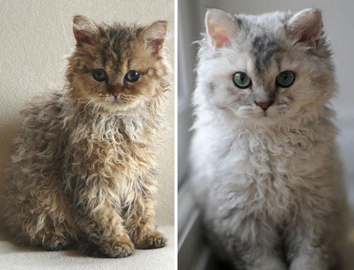Awebic Gato de pelo encaracolado 5 - Gatos com pelos encaracolados a nova raça que tem conquistado a internet