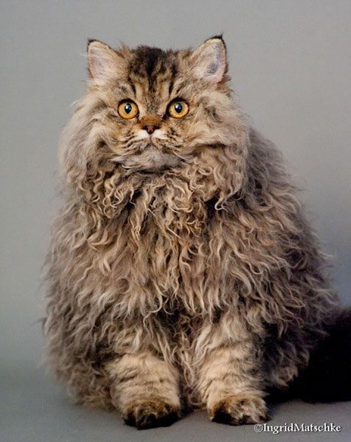Awebic Gato de pelo encaracolado 7 - Gatos com pelos encaracolados a nova raça que tem conquistado a internet