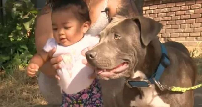 Pitbull 1 - Pitbull puxa bebezinha pela fralda e a salva do incêndio