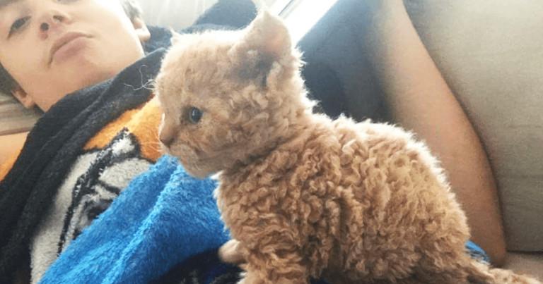 gato selkirk rex fb 768x403 - Gatos com pelos encaracolados a nova raça que tem conquistado a internet