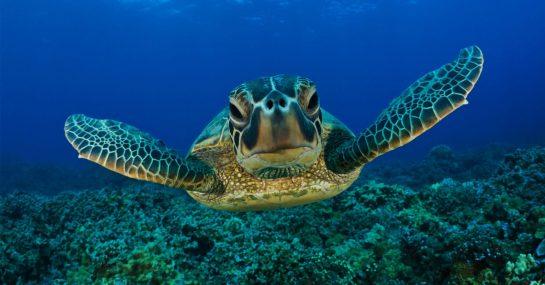 projeto tamar destaque 545x285 1 - Projeto Tamar celebra 40 anos e já soltou 40 milhões de tartarugas!