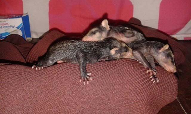 2 2 - Cachorra adota gambazinhos órfãos e se revela uma mãe exemplar