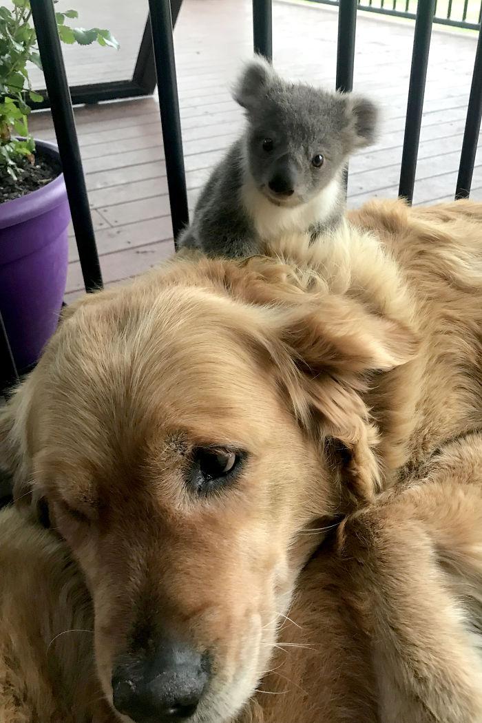 2 4 - Cãozinho surpreende dono com um bebê Koala cuja vida ela acabou de salvar