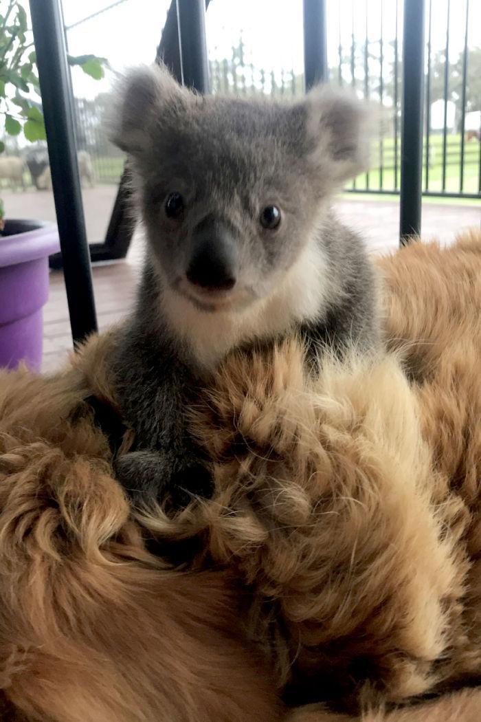 3 4 - Cãozinho surpreende dono com um bebê Koala cuja vida ela acabou de salvar