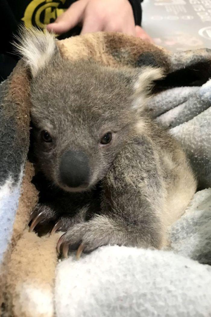 5 2 - Cãozinho surpreende dono com um bebê Koala cuja vida ela acabou de salvar