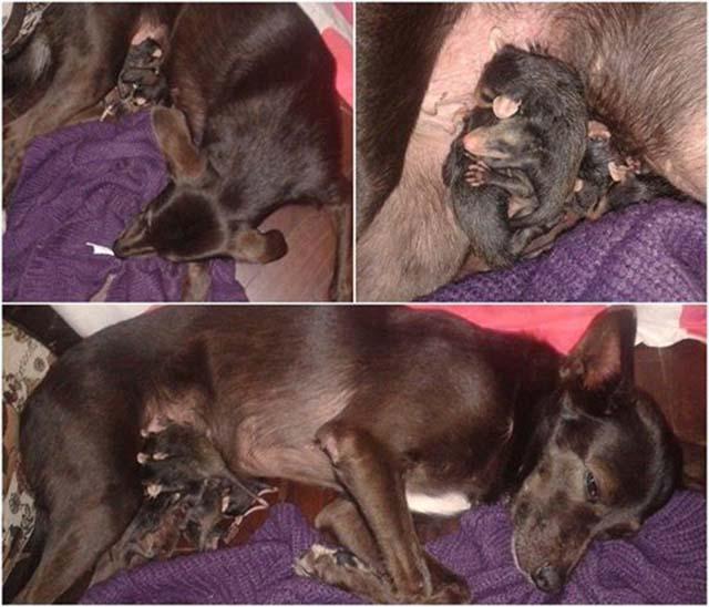 5 - Cachorra adota gambazinhos órfãos e se revela uma mãe exemplar