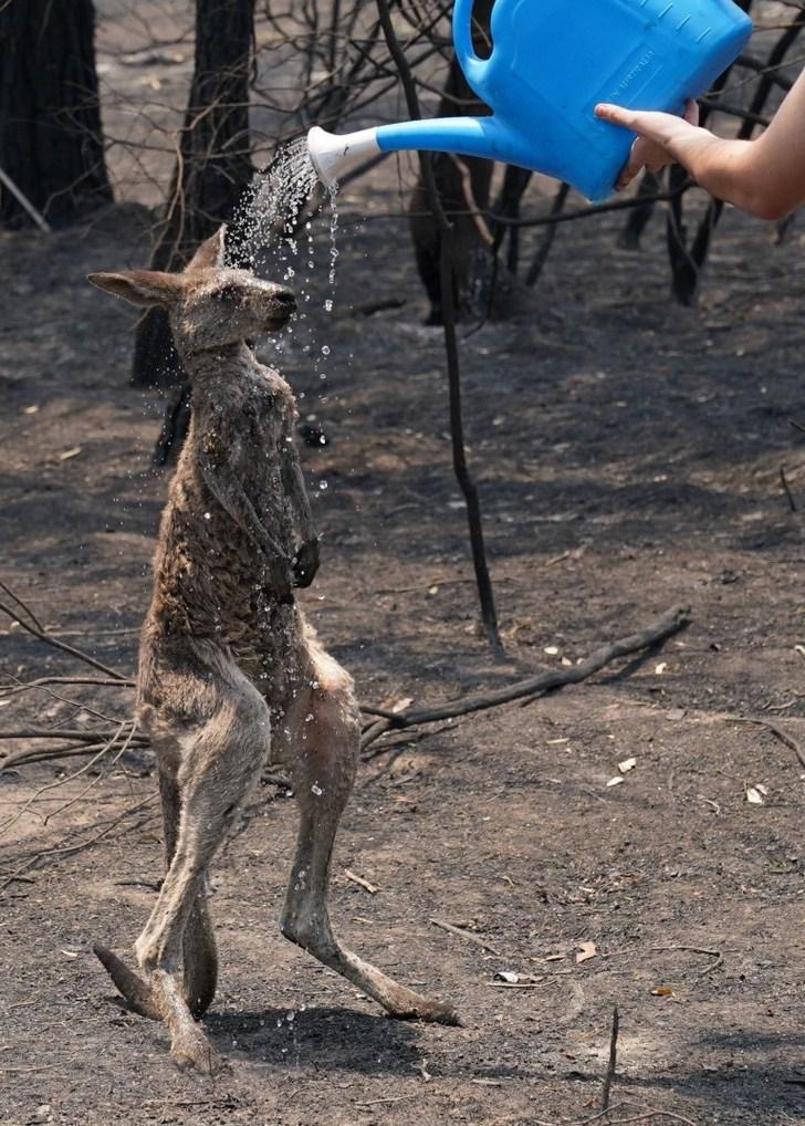 6 1 - Filhote de canguru queimado é ajudado por uma criança