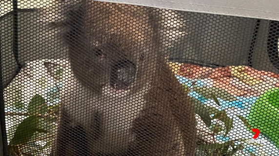 Coalas 3 - Coalas atingidos por incêndios florestais de Adelaide Hills são cuidados em abrigos improvisados