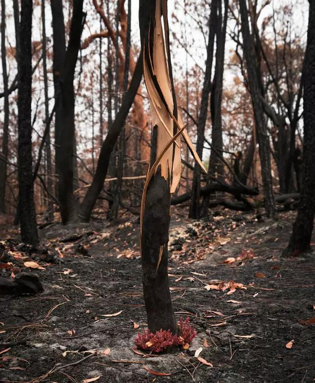 Reflorescer das cinzas 2 - Fotos mostram como a Austrália está começando a FLORESCER após incêndios