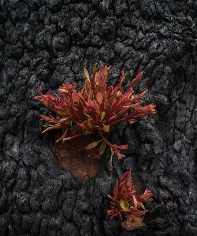 Reflorescer das cinzas 3 - Fotos mostram como a Austrália está começando a FLORESCER após incêndios