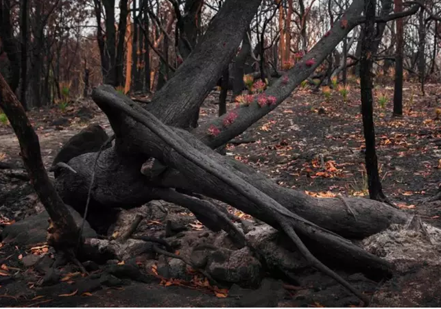 Reflorescer das cinzas 4 - Fotos mostram como a Austrália está começando a FLORESCER após incêndios