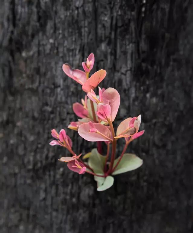 Reflorescer das cinzas 5 - Fotos mostram como a Austrália está começando a FLORESCER após incêndios