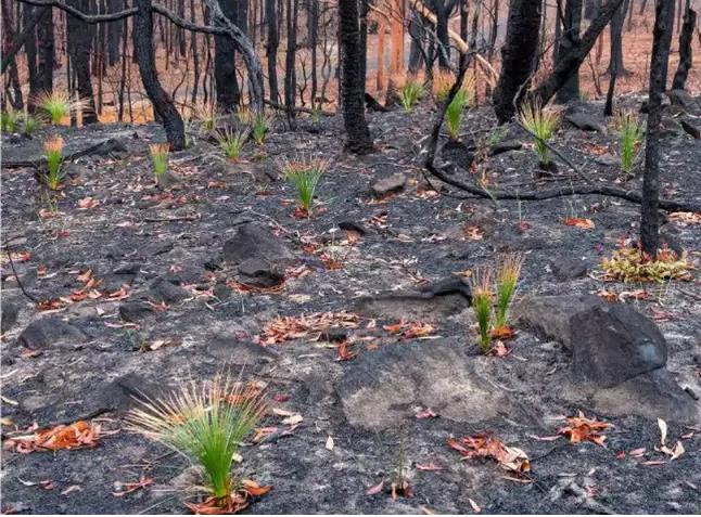 Reflorescer das cinzas 6 - Fotos mostram como a Austrália está começando a FLORESCER após incêndios