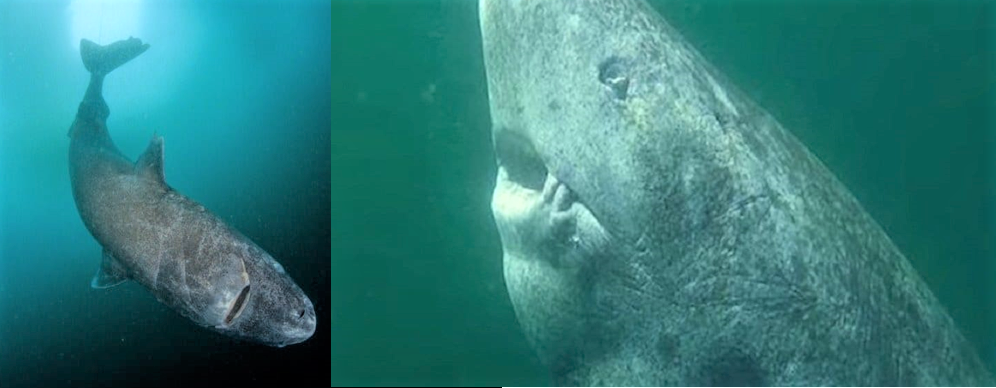 Tubarao Groelandia - Cientistas descobrem um tubarão vivo com mais de 500 anos de idade