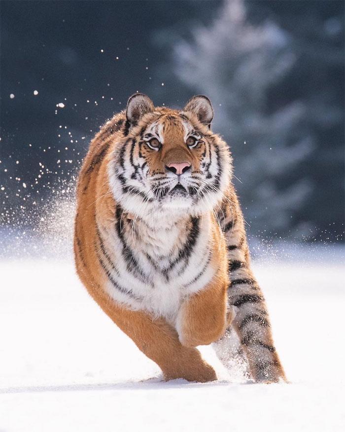 animals photography dick van dujin 4 - Fotógrafo captura momentos preciosos do que acontece na natureza quando ninguém está por perto (30 fotos)